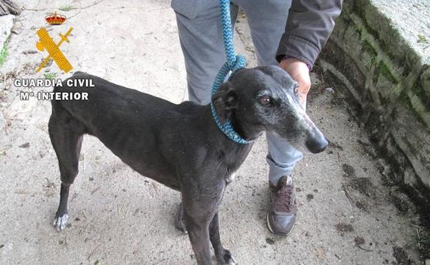 Quince galgos encontrados sin identificación y sin cartilla sanitaria. /Guardia Civil