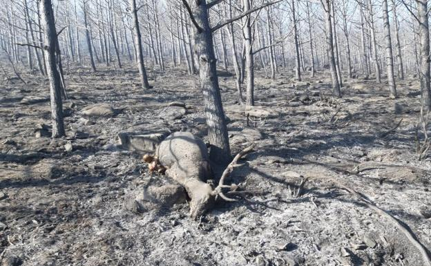 Animal muerto en el incendio de Sotillo de la Adrada /@AT_Brif